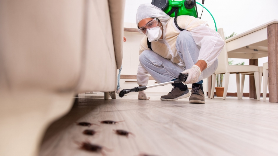 Pest control contractor working in the flat. Man using pesticide under white sofa to exterminate large black cockroaches. Man is using white suit, glasses and face mask to protect himself.